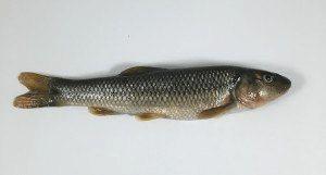 Red-tailed chub