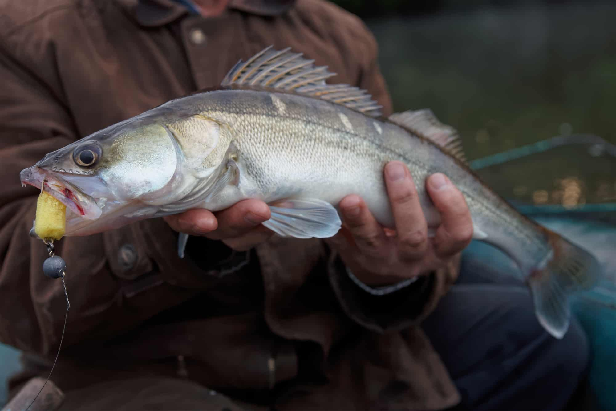 Walleye Fishing Tips: How to Fish for and Catch Walleye