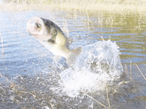 bass jumps out of shallow water