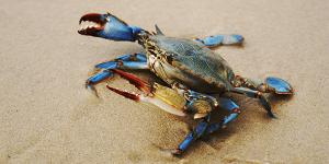 blue crab bait