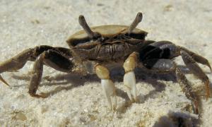 crab bait for redfish