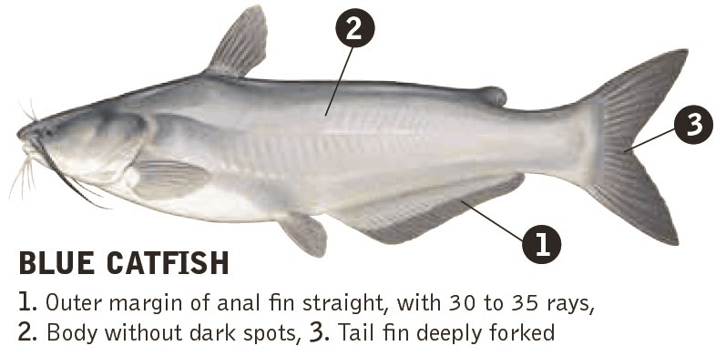 blue catfish species