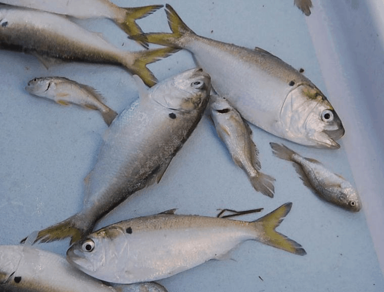 Menhaden bait for speckled trout