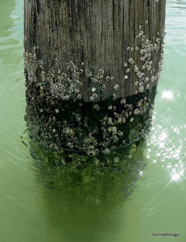 barnacle-encrusted piling