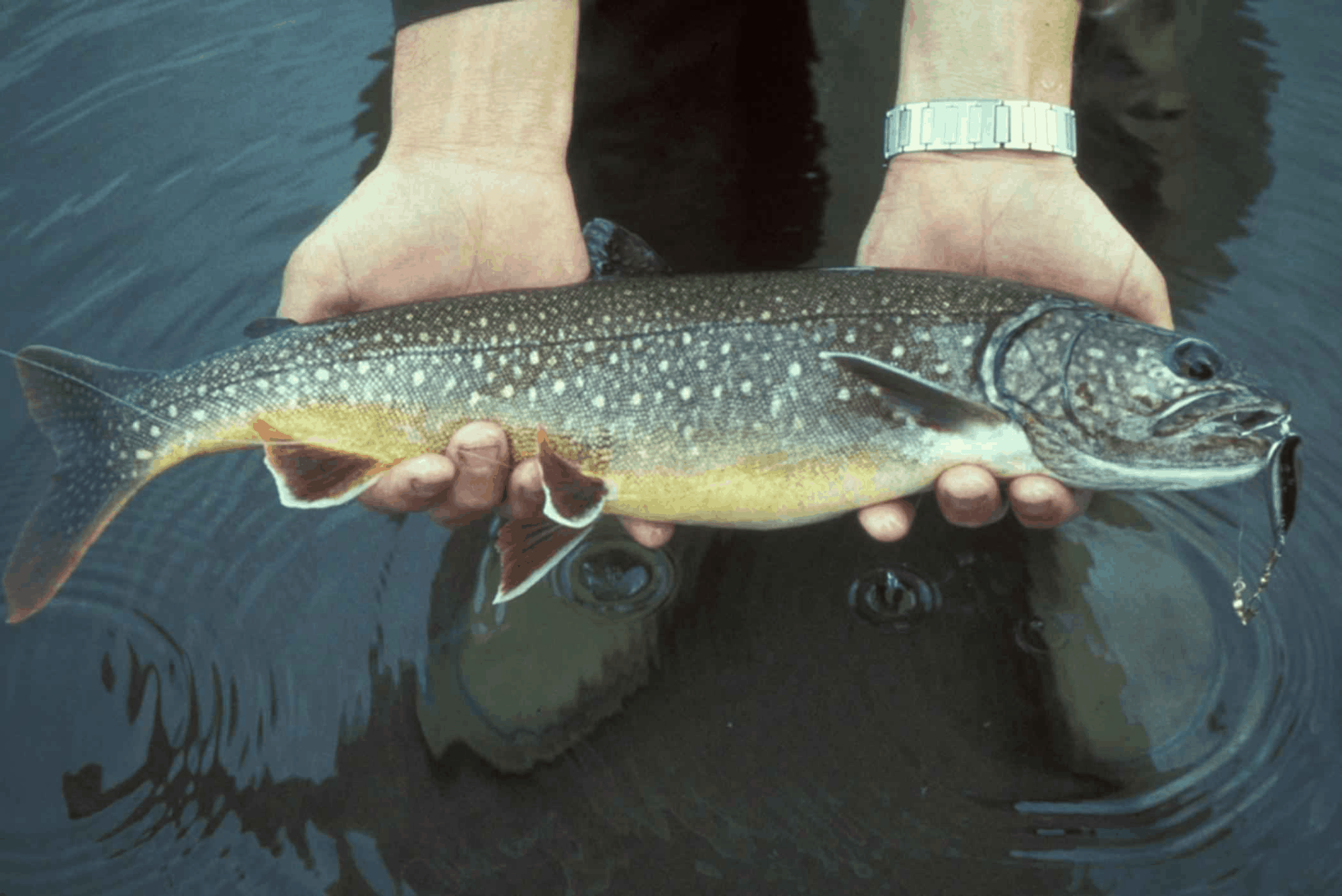 catch and release lake trout