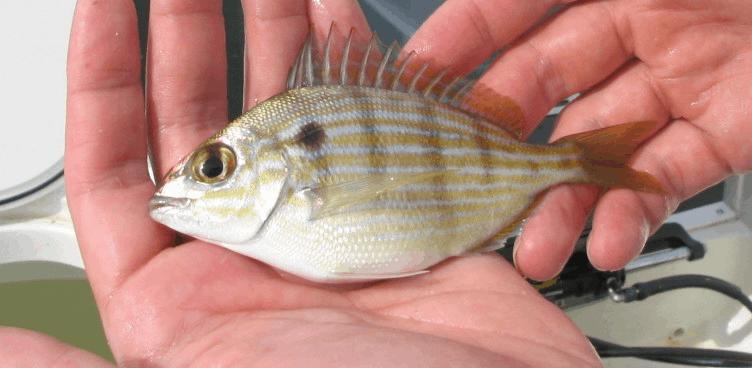 pin fish