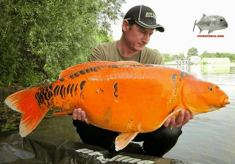 angler catches large koi