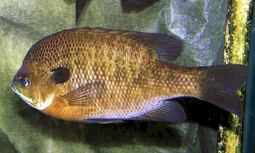 blue gill with steep forehead and dark blue gill plates