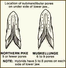 pores on muskie and pike