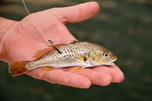 dorsal hooking live bait