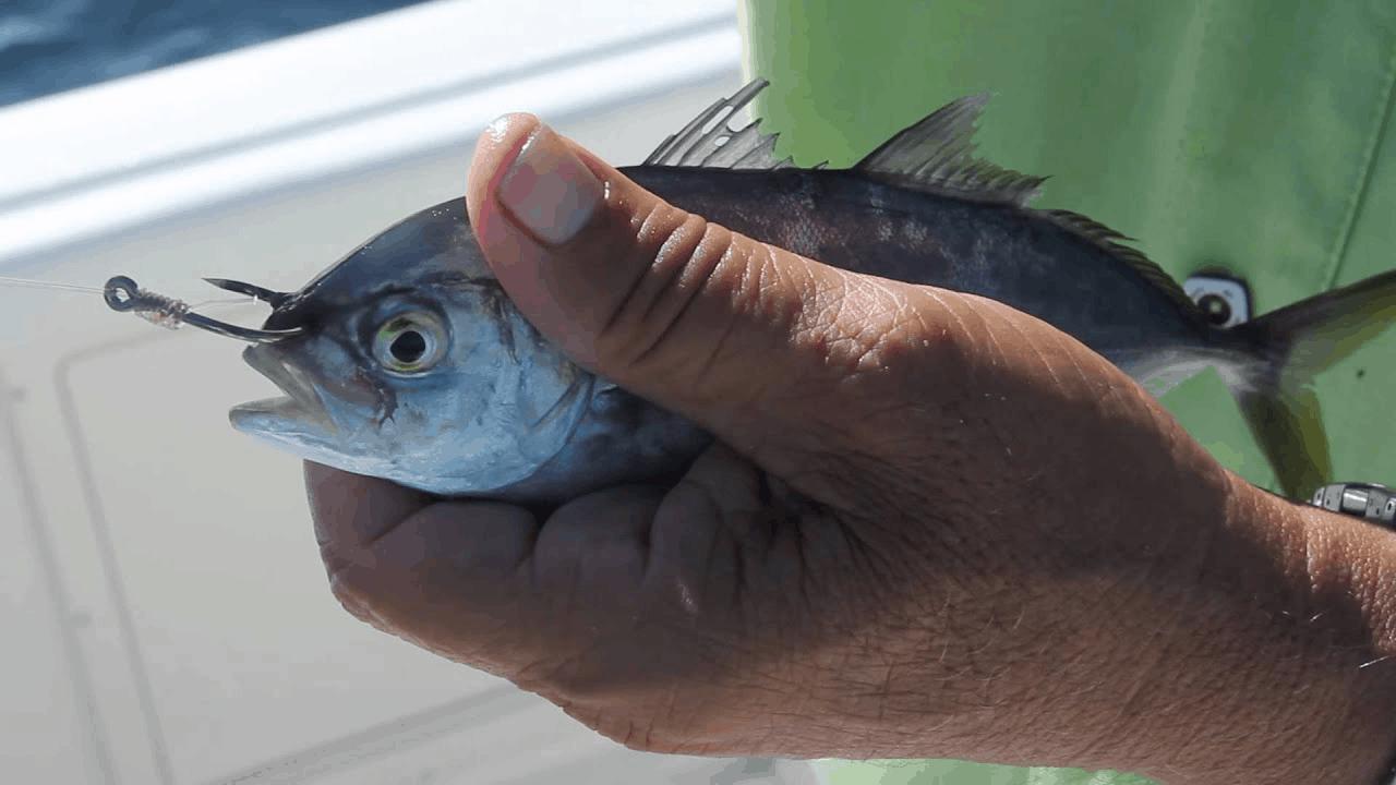 hooking bait through nose