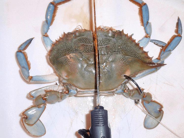 hooking crab