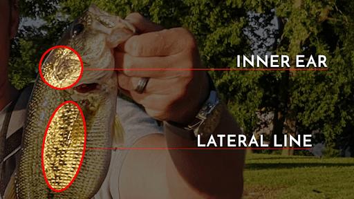 bass have internal ears